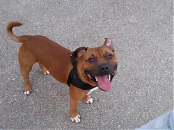 calling-all-staffie-lovers-staffordshire-bull-terrier-other-dogs-also-welcome-w0_0.jpg