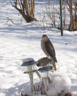 bird-table-sparrow-hawk-pervier-pc310317_ed.jpg