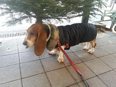 you-know-you-have-gone-dogs-cassie-s-new-coat-14.12.2014.jpg