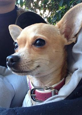 buying-chihuahua-ch-question-about-place-prices-image.jpg