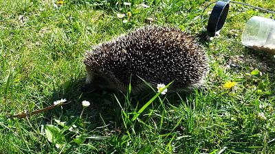 hedgehog-found-advice-20150407_165910.jpg