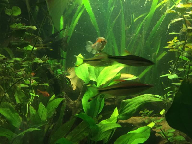 Aquarium Fish Tropical Freshwater Free To A Good Home English